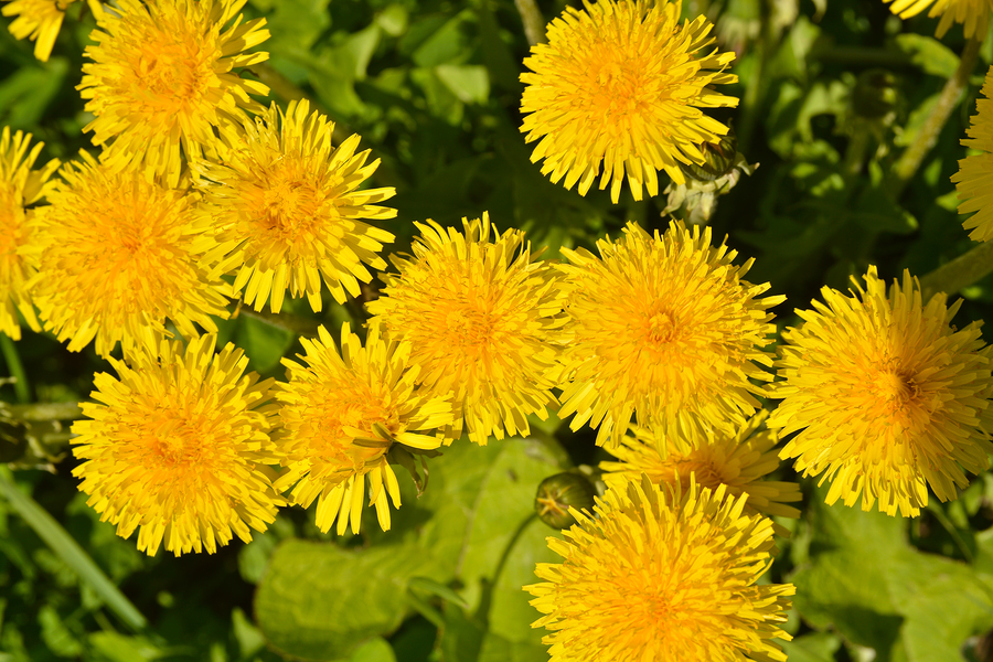 How to Get Rid of Dandelions in Your Seattle Yard - Greenwood Hardware