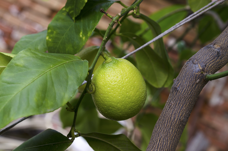 How to Care for Citrus Trees in the Pacific Northwest - Greenwood Hardware
